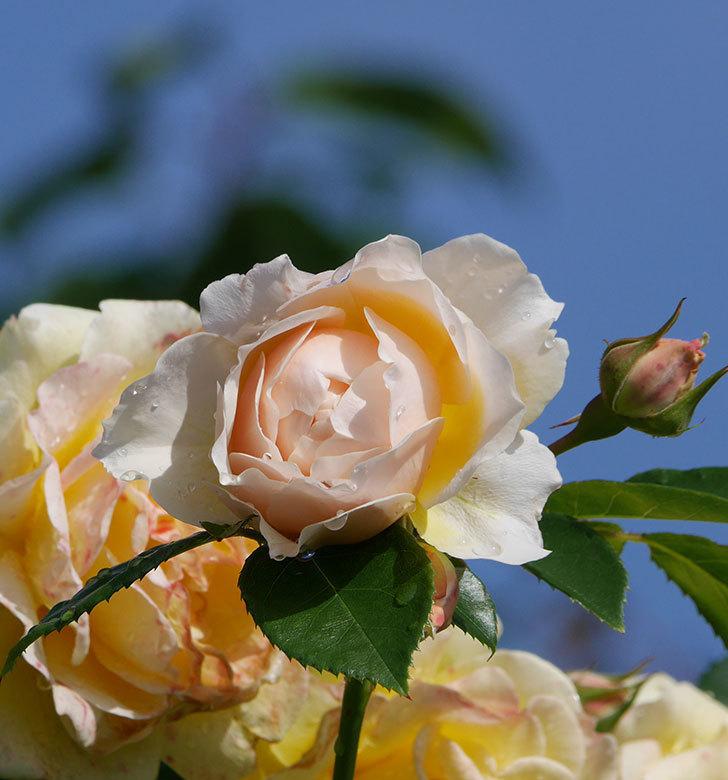 ジンジャー・シラバブ(ツルバラ)が咲いた。2018年-1.jpg