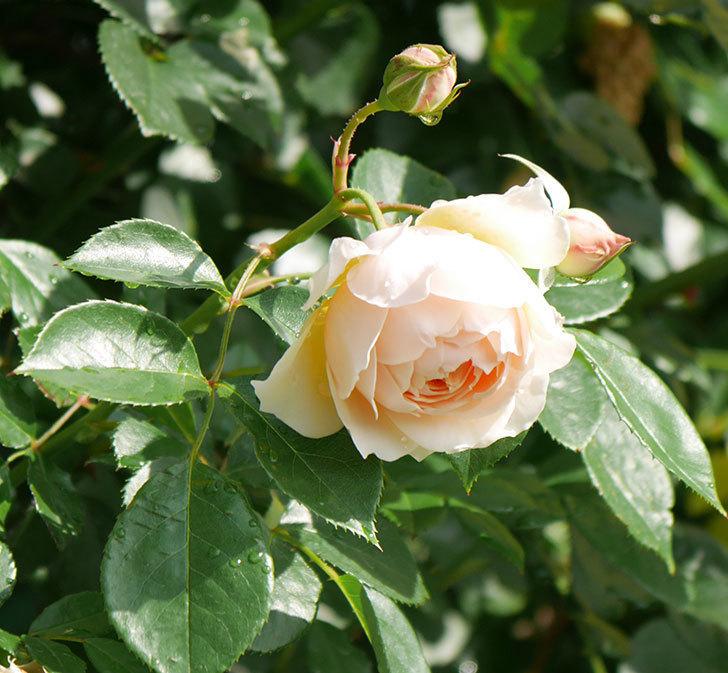 ジンジャー・シラバブ(ツルバラ)が咲いた。2018年-10.jpg