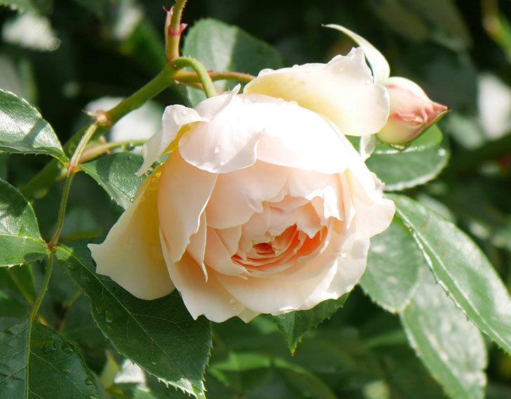 ジンジャー・シラバブ(ツルバラ)が咲いた。2018年-11.jpg