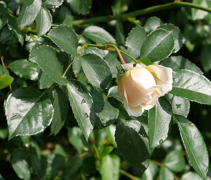 ジンジャー・シラバブ(ツルバラ)が咲いた。2018年-13.jpg