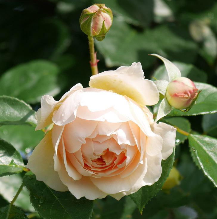 ジンジャー・シラバブ(ツルバラ)が咲いた。2018年-18.jpg