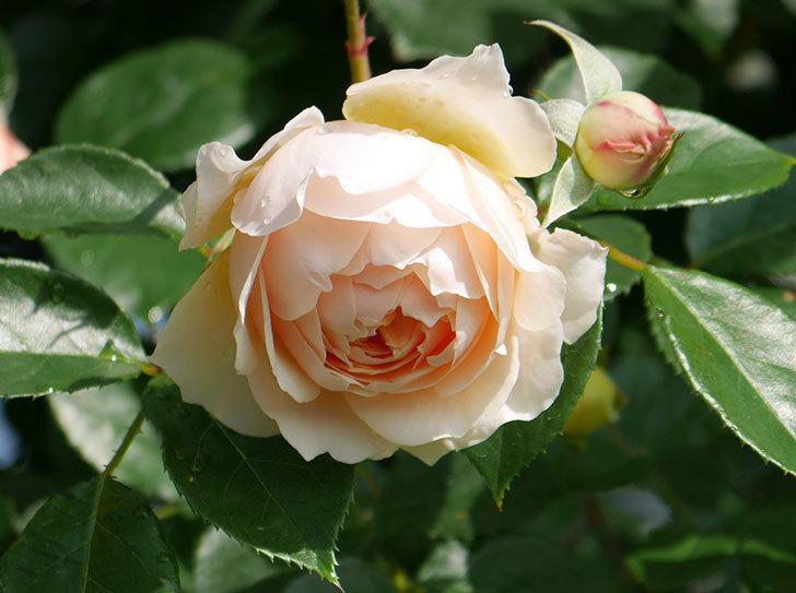 ジンジャー・シラバブ(ツルバラ)が咲いた。2018年-2.jpg