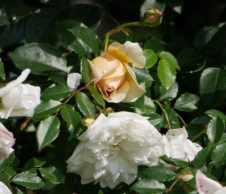 ジンジャー・シラバブ(ツルバラ)が咲いた。2018年-21.jpg