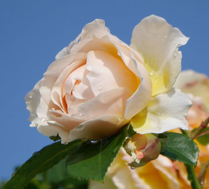 ジンジャー・シラバブ(ツルバラ)が咲いた。2018年-26.jpg