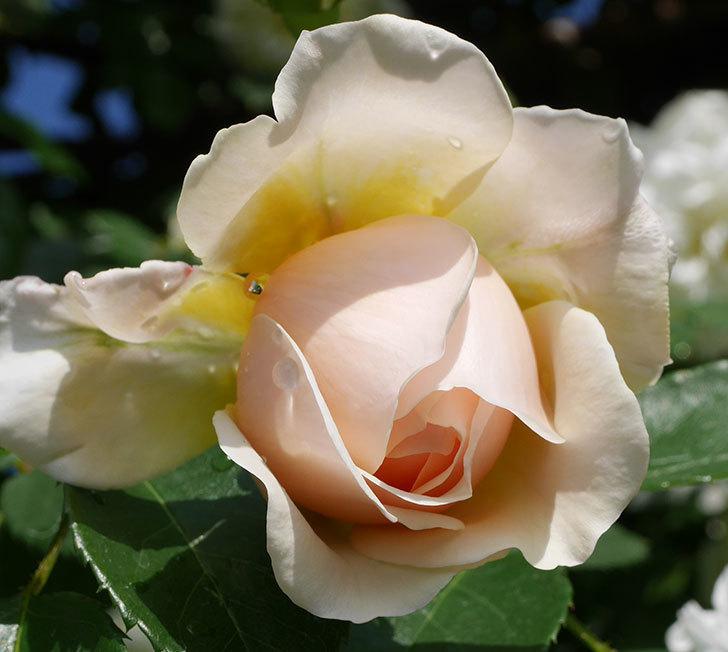 ジンジャー・シラバブ(ツルバラ)が咲いた。2018年-30.jpg