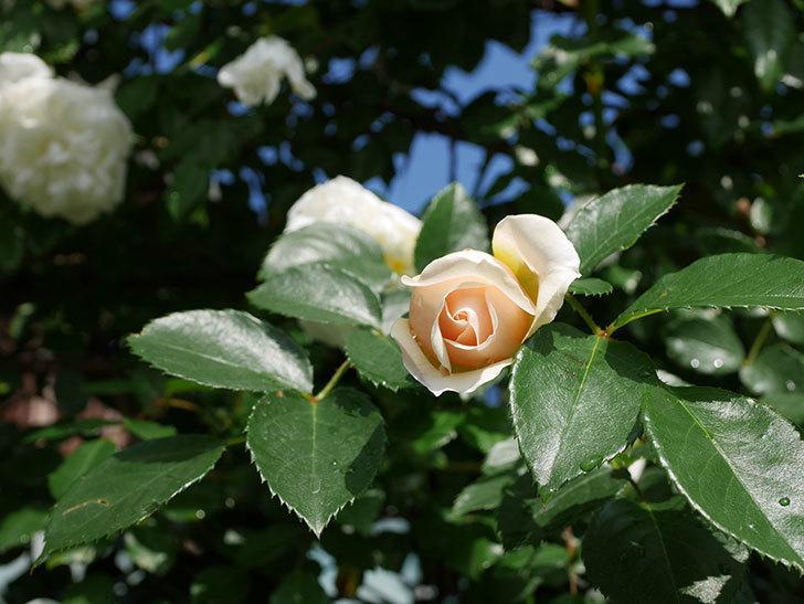 ジンジャー・シラバブ(ツルバラ)が咲いた。2018年-31.jpg