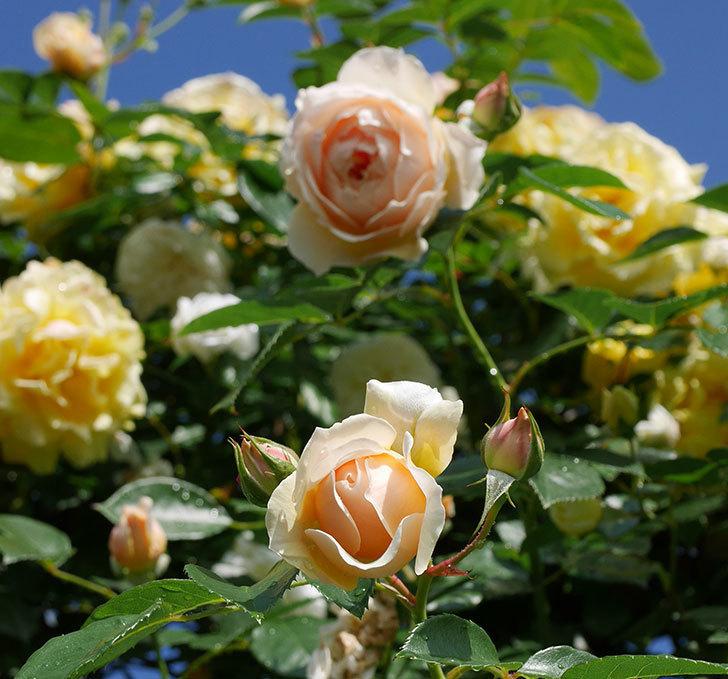 ジンジャー・シラバブ(ツルバラ)が咲いた。2018年-33.jpg