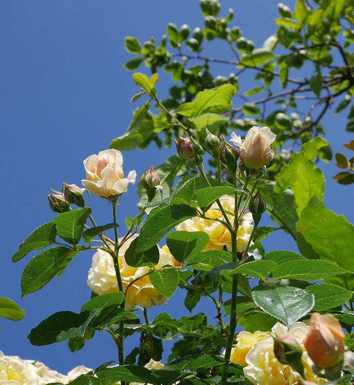 ジンジャー・シラバブ(ツルバラ)が咲いた。2018年-34.jpg