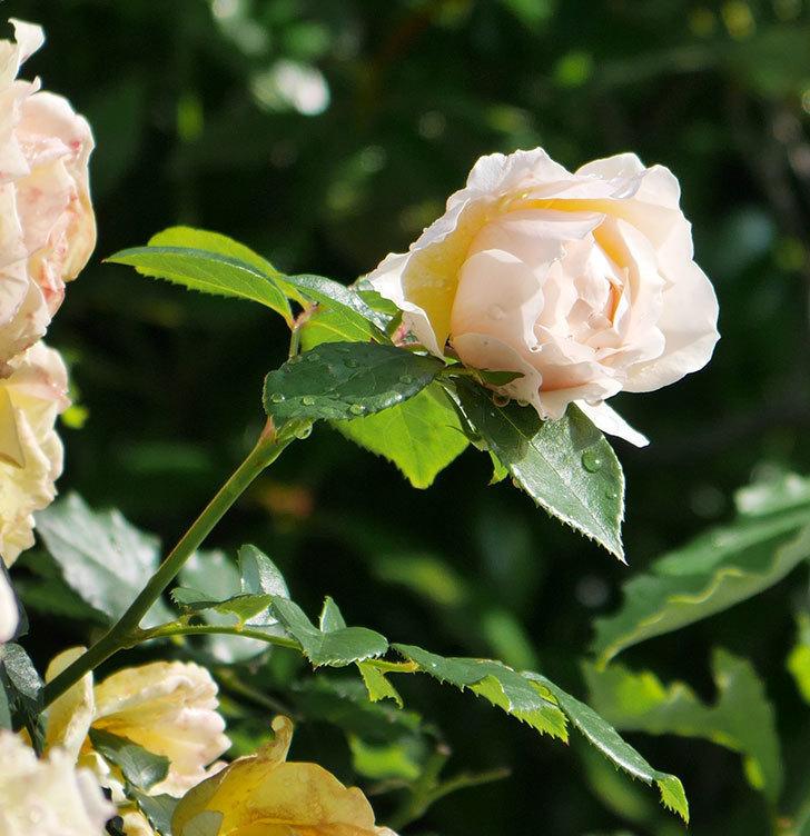 ジンジャー・シラバブ(ツルバラ)が咲いた。2018年-5.jpg