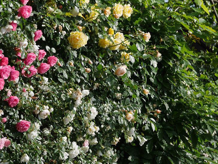 ジンジャー・シラバブ(ツルバラ)が咲いた。2018年-6.jpg