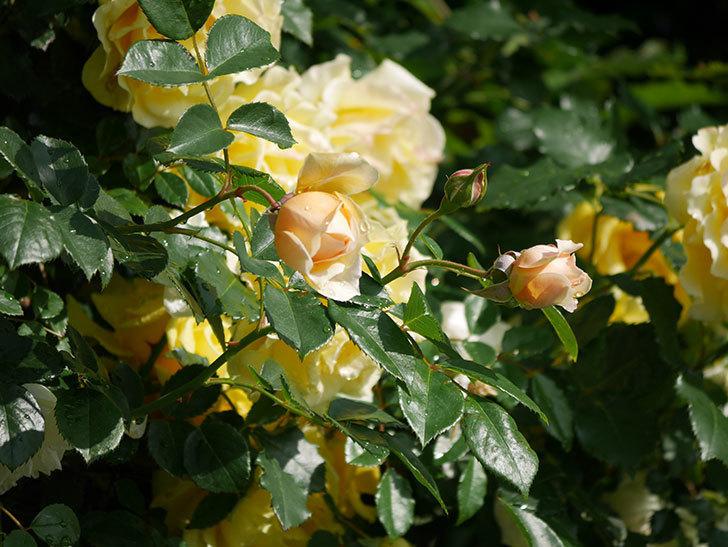 ジンジャー・シラバブ(ツルバラ)が咲いた。2018年-9.jpg