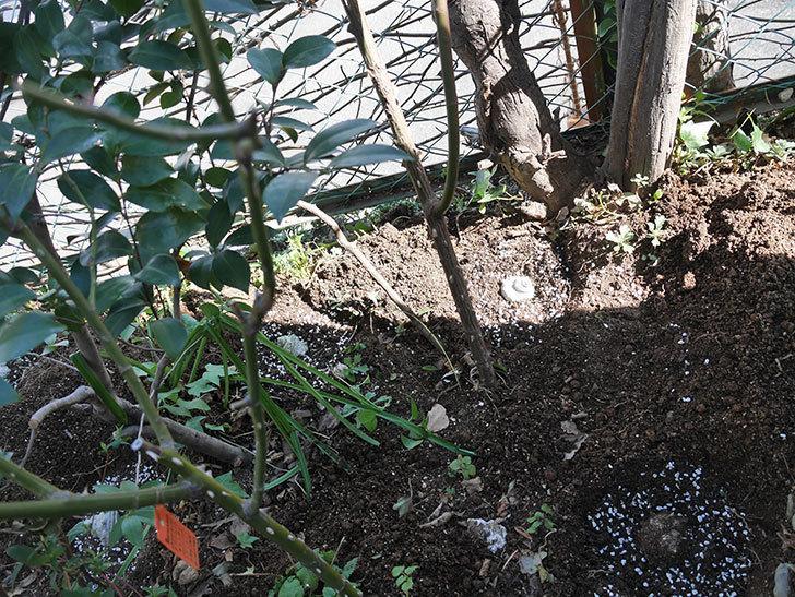ジンジャー・シラバブ(ツルバラ)に寒肥を施した。2020年-2.jpg