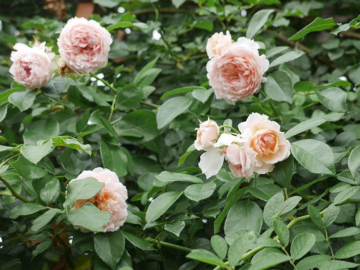 ジンジャー・シラバブ(ツルバラ)の2番花がたくさん咲いた。2019年-1.jpg