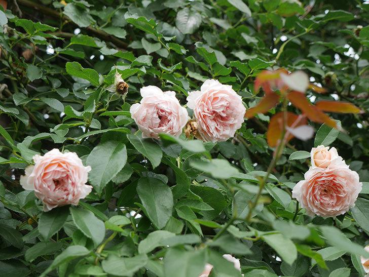 ジンジャー・シラバブ(ツルバラ)の2番花がたくさん咲いた。2019年-10.jpg