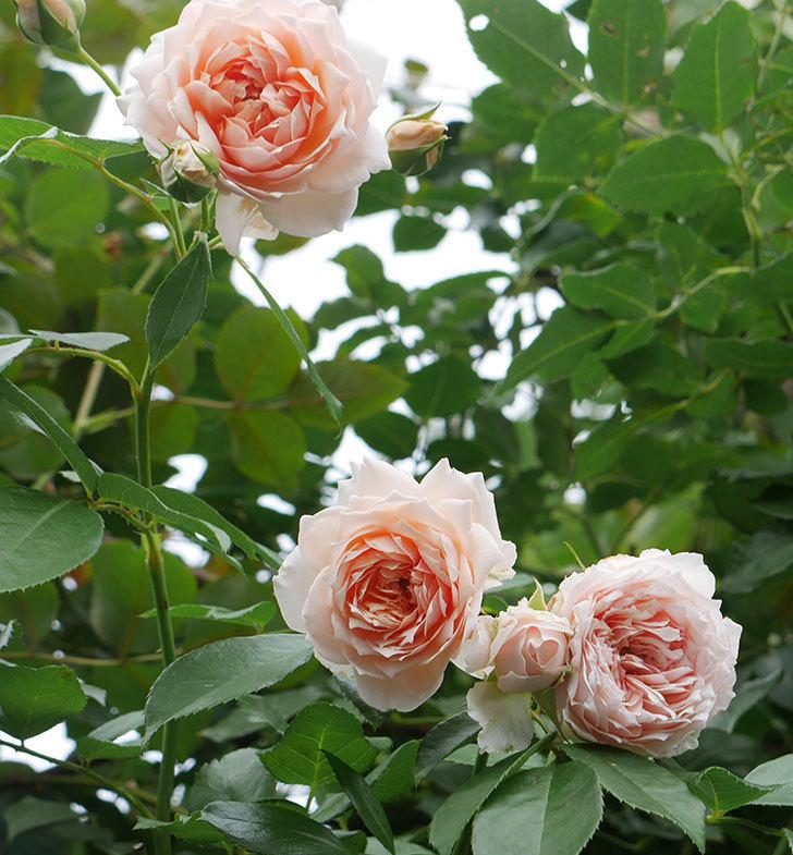 ジンジャー・シラバブ(ツルバラ)の2番花がたくさん咲いた。2019年-11.jpg