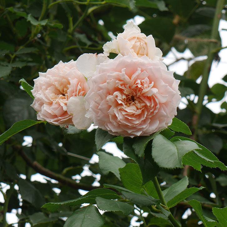 ジンジャー・シラバブ(ツルバラ)の2番花がたくさん咲いた。2019年-12.jpg