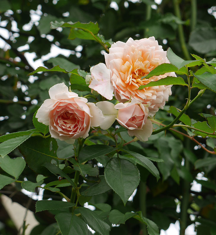 ジンジャー・シラバブ(ツルバラ)の2番花がたくさん咲いた。2019年-13.jpg