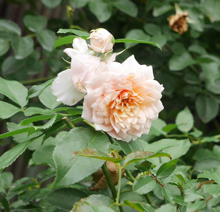 ジンジャー・シラバブ(ツルバラ)の2番花がたくさん咲いた。2019年-14.jpg