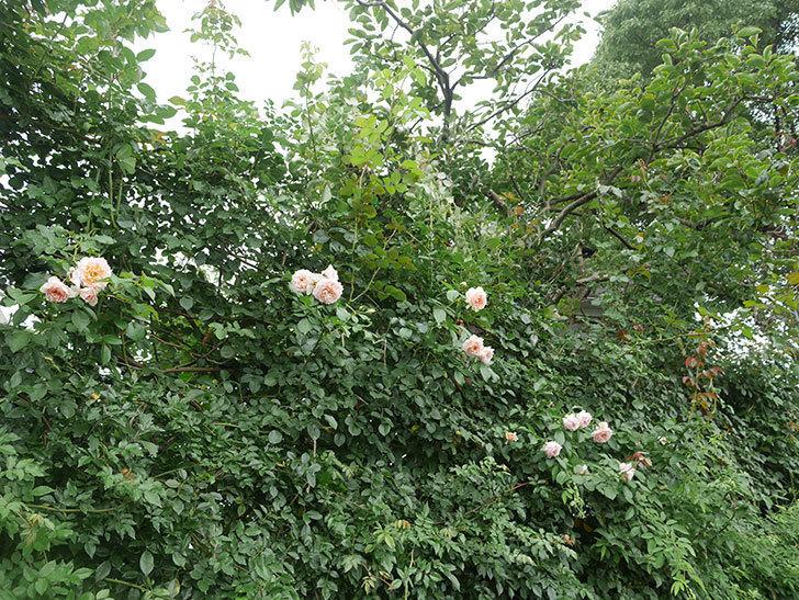 ジンジャー・シラバブ(ツルバラ)の2番花がたくさん咲いた。2019年-15.jpg