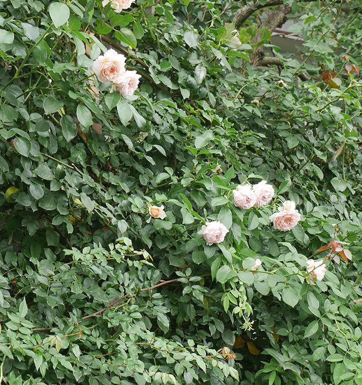ジンジャー・シラバブ(ツルバラ)の2番花がたくさん咲いた。2019年-16.jpg