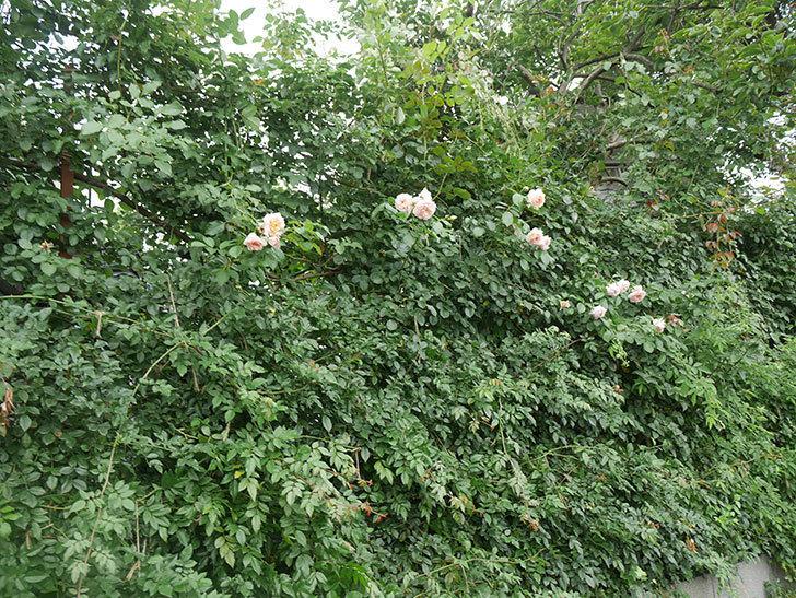 ジンジャー・シラバブ(ツルバラ)の2番花がたくさん咲いた。2019年-17.jpg
