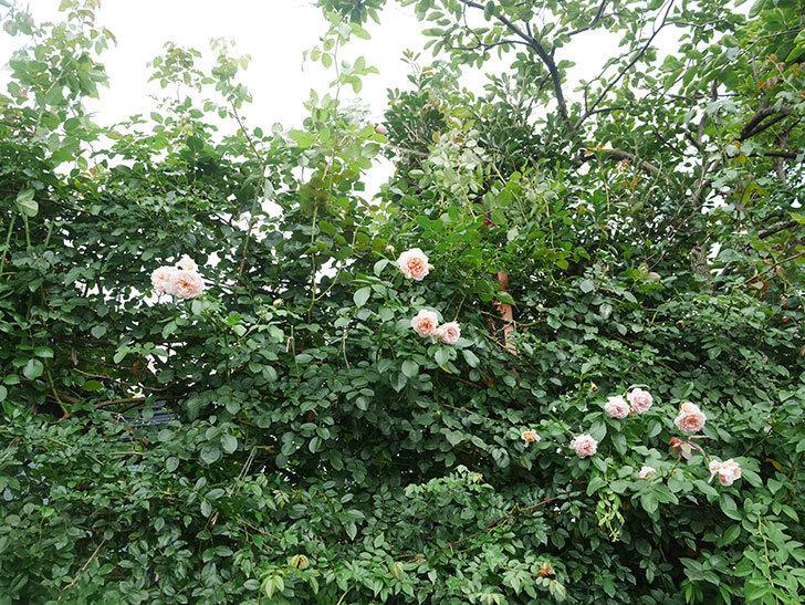 ジンジャー・シラバブ(ツルバラ)の2番花がたくさん咲いた。2019年-18.jpg