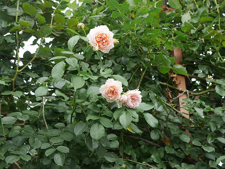 ジンジャー・シラバブ(ツルバラ)の2番花がたくさん咲いた。2019年-2.jpg