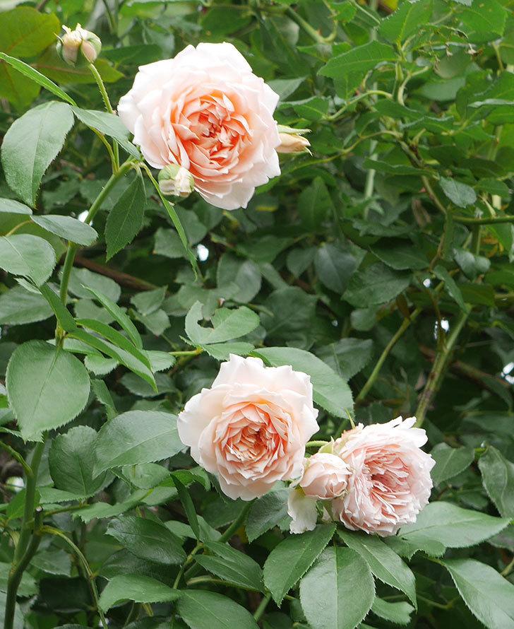 ジンジャー・シラバブ(ツルバラ)の2番花がたくさん咲いた。2019年-3.jpg