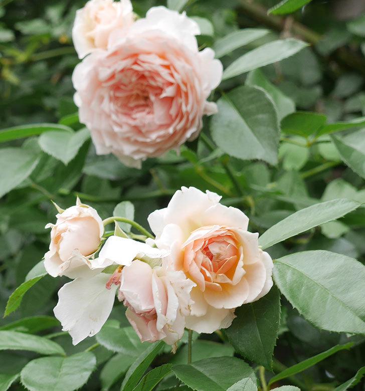 ジンジャー・シラバブ(ツルバラ)の2番花がたくさん咲いた。2019年-4.jpg