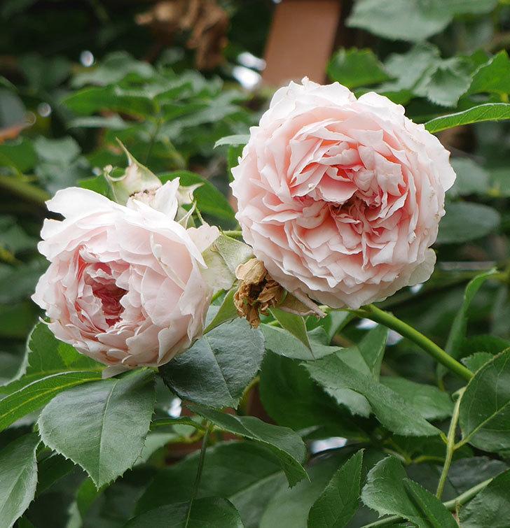 ジンジャー・シラバブ(ツルバラ)の2番花がたくさん咲いた。2019年-5.jpg