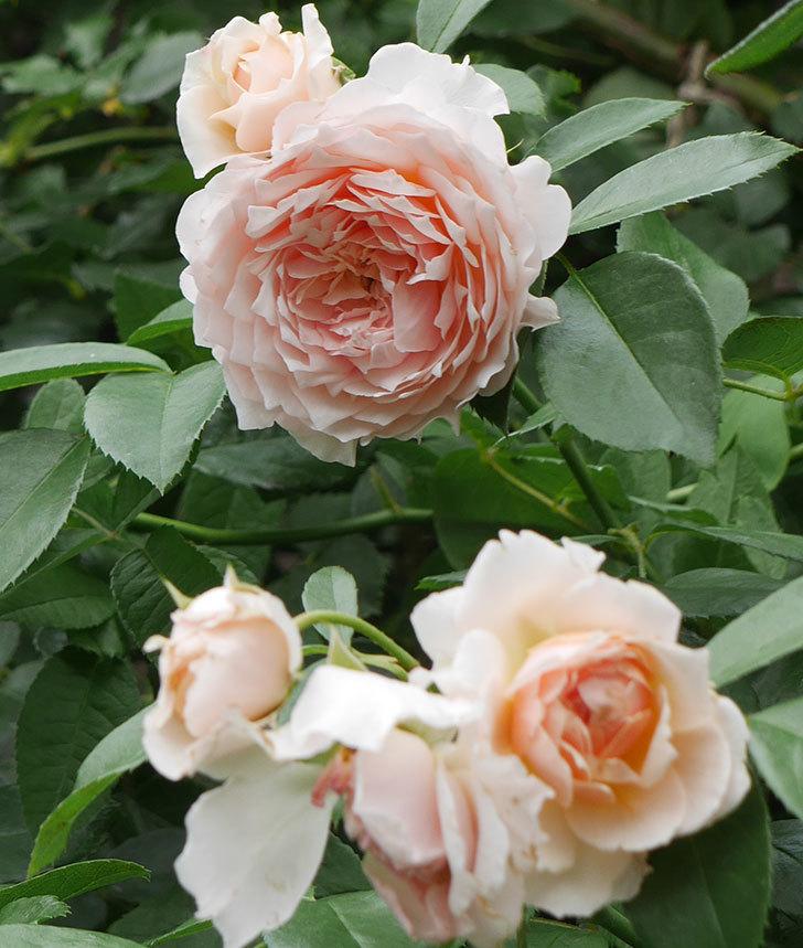 ジンジャー・シラバブ(ツルバラ)の2番花がたくさん咲いた。2019年-6.jpg