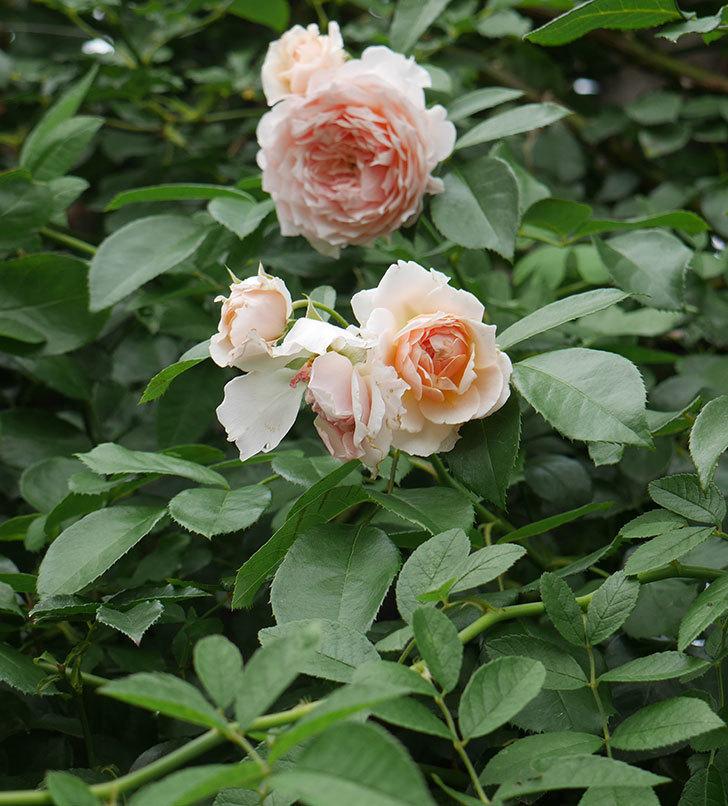 ジンジャー・シラバブ(ツルバラ)の2番花がたくさん咲いた。2019年-7.jpg