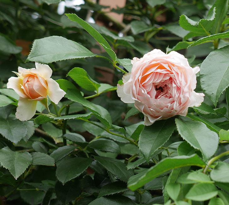 ジンジャー・シラバブ(ツルバラ)の2番花がたくさん咲いた。2019年-8.jpg