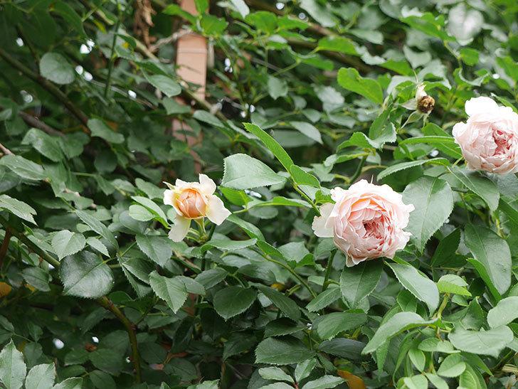 ジンジャー・シラバブ(ツルバラ)の2番花がたくさん咲いた。2019年-9.jpg