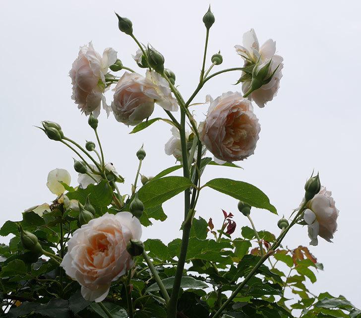 ジンジャー・シラバブ(ツルバラ)の2番花が咲いた。2019年-1.jpg