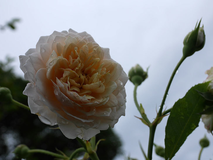 ジンジャー・シラバブ(ツルバラ)の2番花が咲いた。2019年-10.jpg