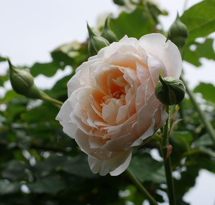 ジンジャー・シラバブ(ツルバラ)の2番花が咲いた。2019年-2.jpg