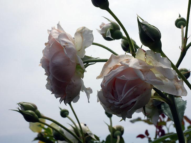 ジンジャー・シラバブ(ツルバラ)の2番花が咲いた。2019年-3.jpg