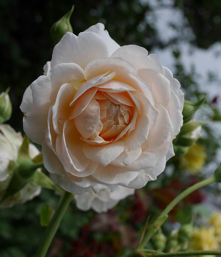 ジンジャー・シラバブ(ツルバラ)の2番花が咲いた。2019年-4.jpg