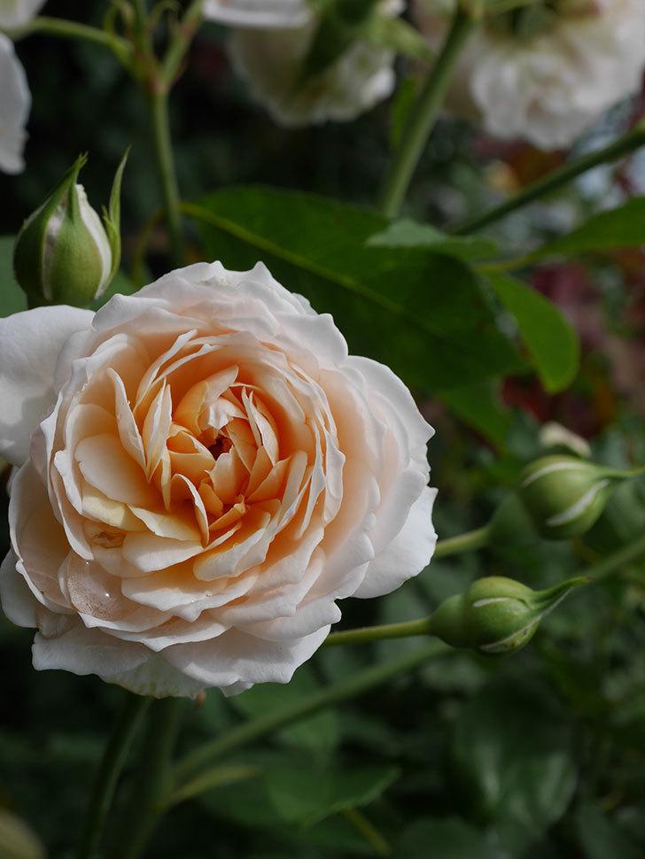 ジンジャー・シラバブ(ツルバラ)の2番花が咲いた。2019年-5.jpg