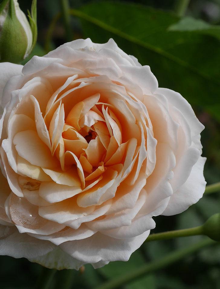 ジンジャー・シラバブ(ツルバラ)の2番花が咲いた。2019年-6.jpg