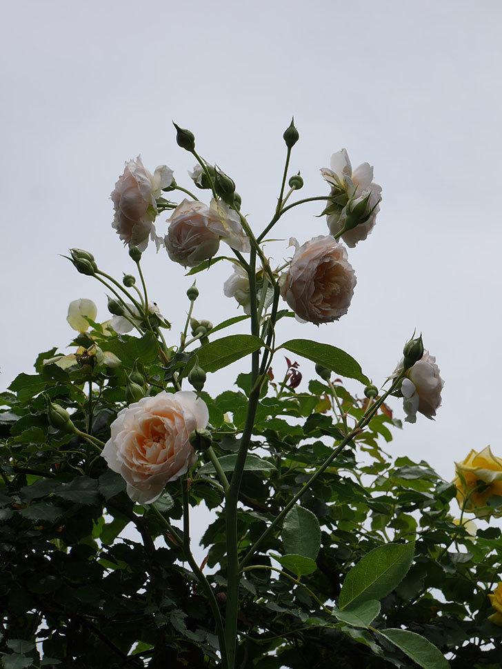 ジンジャー・シラバブ(ツルバラ)の2番花が咲いた。2019年-7.jpg