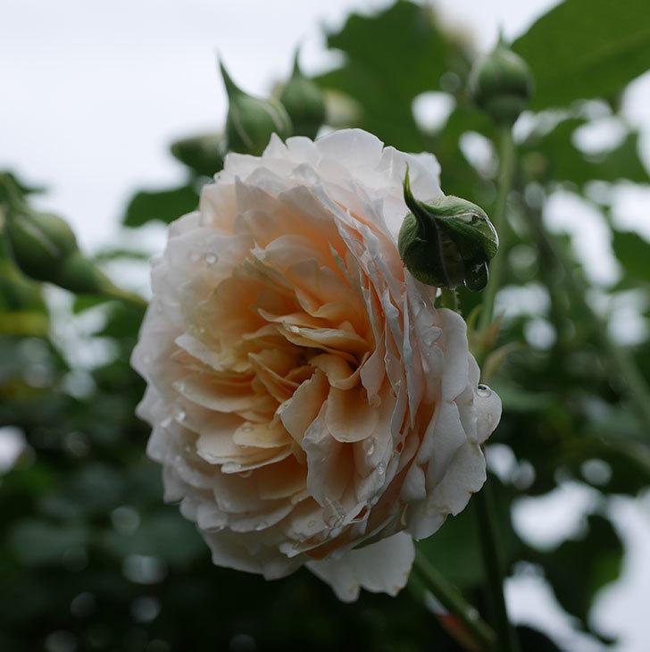 ジンジャー・シラバブ(ツルバラ)の2番花が咲いた。2019年-9.jpg