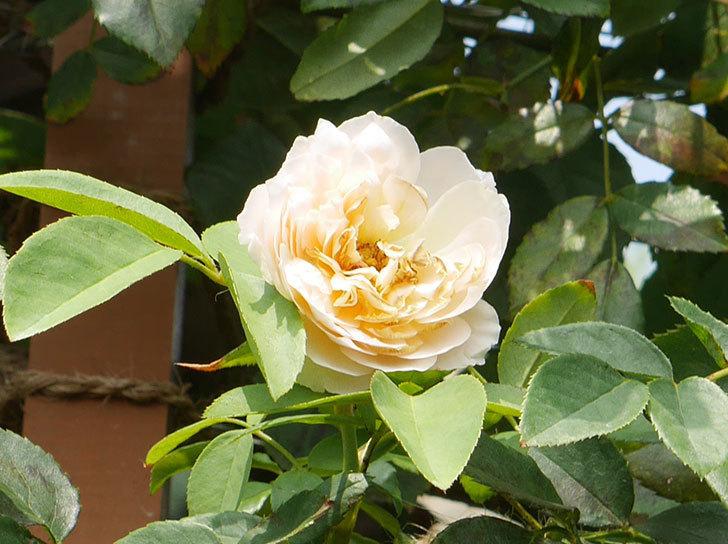 ジンジャー・シラバブ(ツルバラ)の夏花が咲いた。2018年-2.jpg