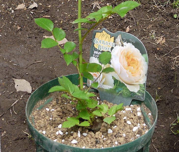 ジンジャー・シラバブ(ツルバラ)の新苗を6号ロングスリット鉢に植えた。2016年-1.jpg