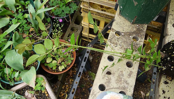 ジンジャー・シラバブ(ツルバラ)の新苗を6号ロングスリット鉢に植えた。2016年-2.jpg