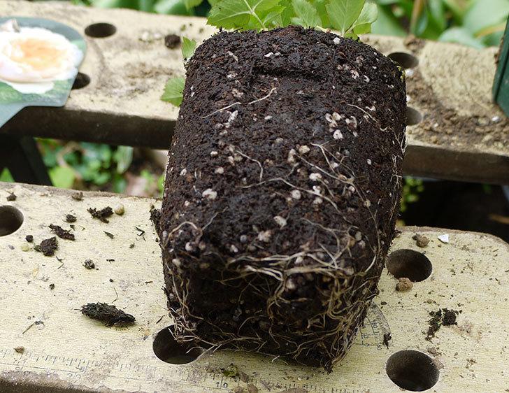 ジンジャー・シラバブ(ツルバラ)の新苗を6号ロングスリット鉢に植えた。2016年-4.jpg
