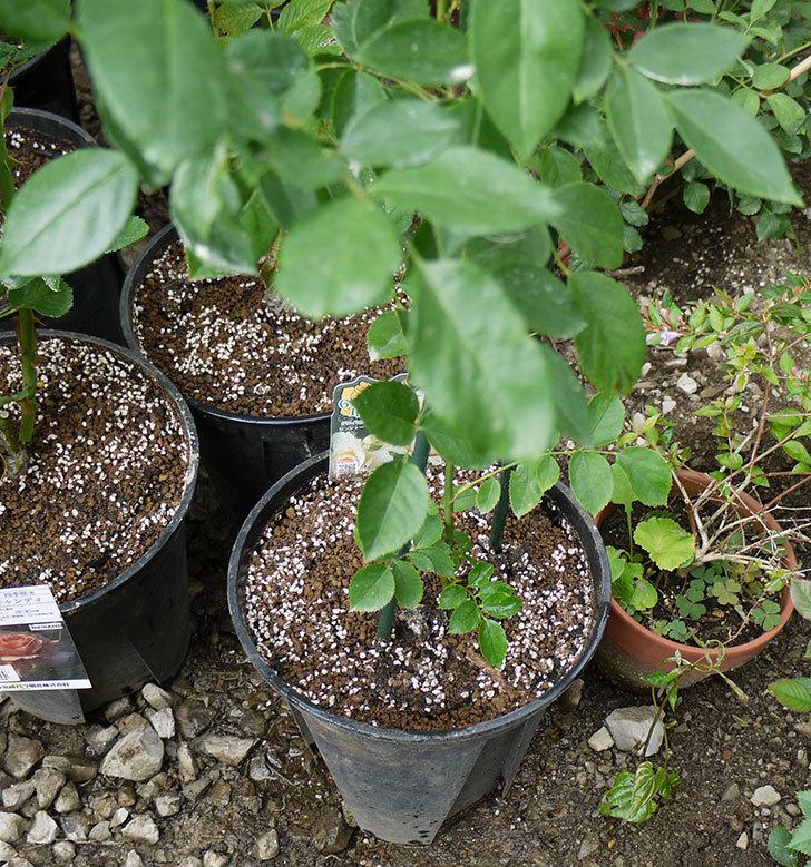 ジンジャー・シラバブ(ツルバラ)の新苗を8号のEUロングスリット鉢に鉢増しした。2016年-10.jpg