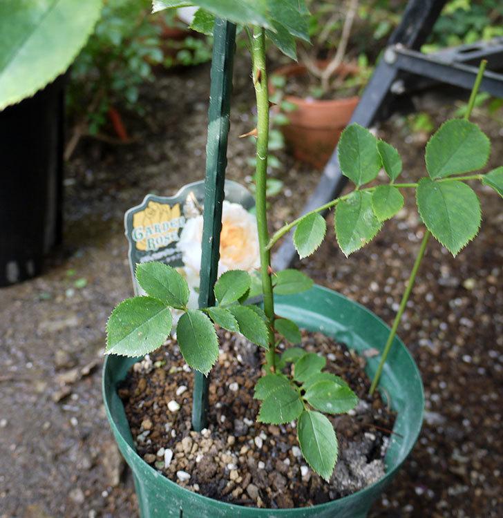 ジンジャー・シラバブ(ツルバラ)の新苗を8号のEUロングスリット鉢に鉢増しした。2016年-2.jpg