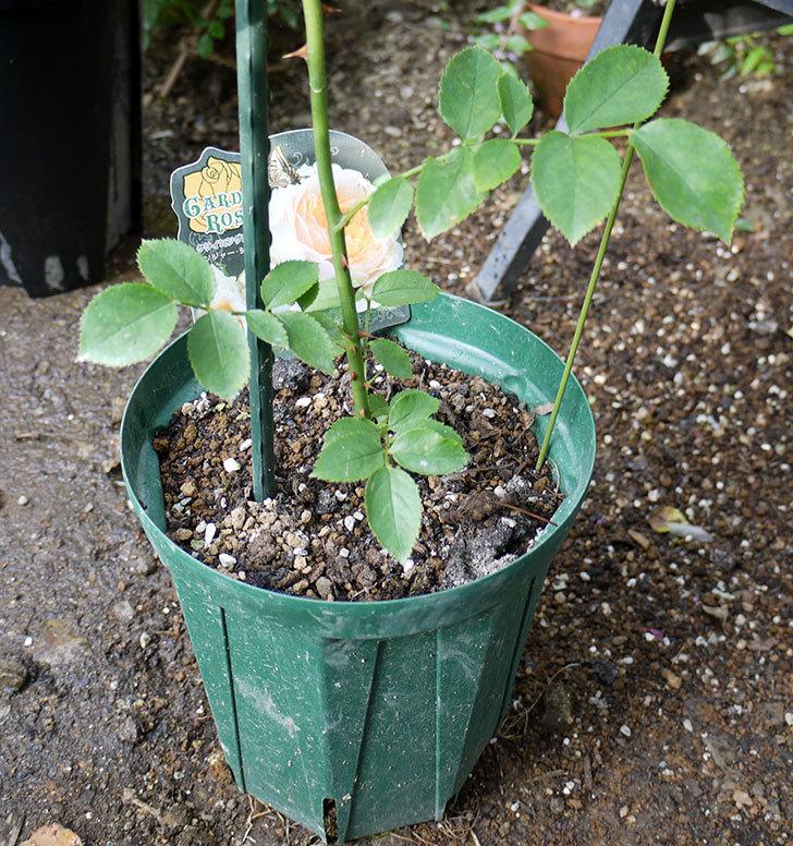 ジンジャー・シラバブ(ツルバラ)の新苗を8号のEUロングスリット鉢に鉢増しした。2016年-3.jpg
